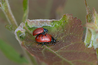 Pappelblatt-Käfer, Roter Pappelblattkäfer, Paarung, Kopulation, Kopula, Chrysomela populi, Melasoma populi, Red poplar leaf-beetle, poplar leaf beetle, poplar beetle, pairing, copulation