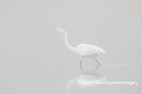 00688-02211 Great Egret (Ardea alba) in wetland in fog, Marion Co., IL