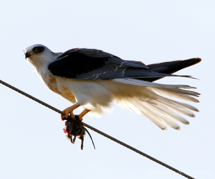 White-tailed kite adult with mouse. We watched this bird hover, then dive, to catch this mouse. Fortunately the kite then flew to a nearby wire to eat the mouse.