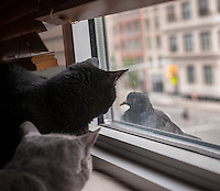 Two domestic short hair cats look out a window longingly at a pigeon perched on the windowsill in New York on Tuesday, August 27, 2013.   (© Richard B. Levine)