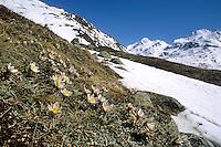 Frühlings-Kuhschelle, Frühlings-Küchenschelle, Pulsatilla vernalis, Spring pasqueflower, arctic violet, lady of the snows