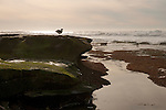 A  gull stands on rocks on the beach at low tide in La Jolla, California.
