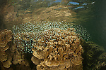 Shallow coral reef in the mangroves with blue green chromis. North Raja Ampat, West Papua, Indonesia