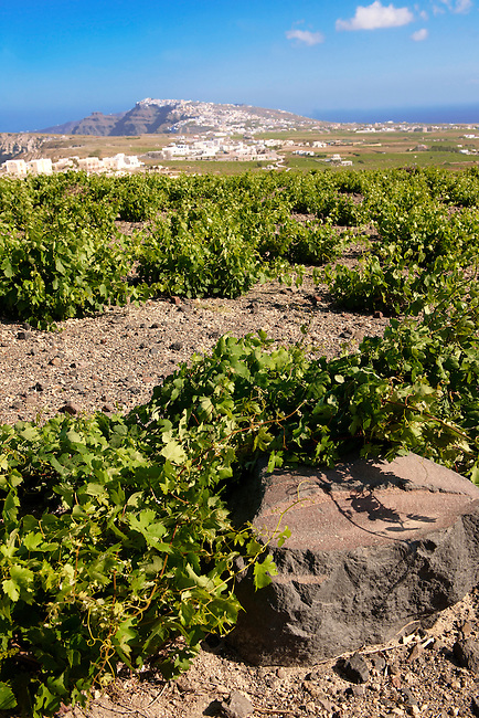 Low growing vines of Santorini, Greece