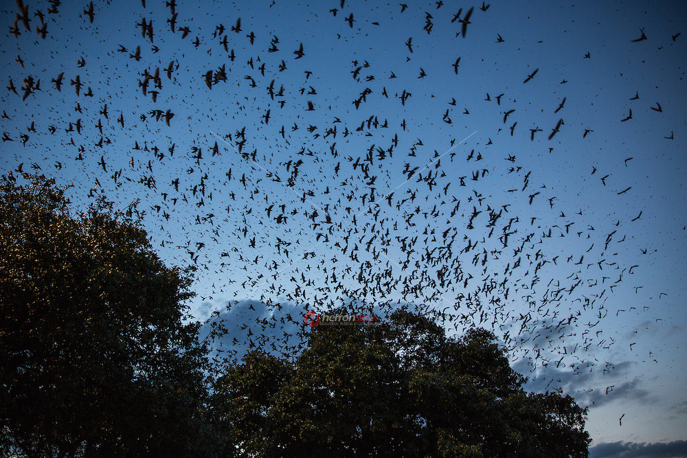 Highland Mall is a sanctuary to the aerial flying acrobats Purple Martin Swallows in Austin, Texas.