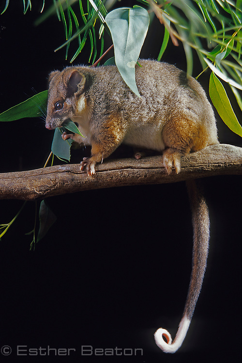 Common Ringtail Possum (Pseudocheirus perigrinus) eating leaf (eucalypt?). From Royal National Park, NSW