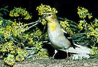 Goldfinch, Carduelis tristis, with blooming dogwood, Cornus mas