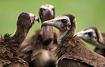 Hooded Vulture, Monachus gambia, group together on grass, West Africa.