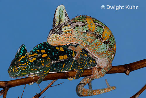 CH48-533p  Veiled Chameleons mating, Chamaeleo calyptratus (Note:  Subject unchanged, background imperfections altered).