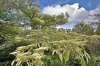 Big Pagoda Dogwood,Cornus controversa variegatus. Schreiner's Iris Gardens. Salem, Oregon