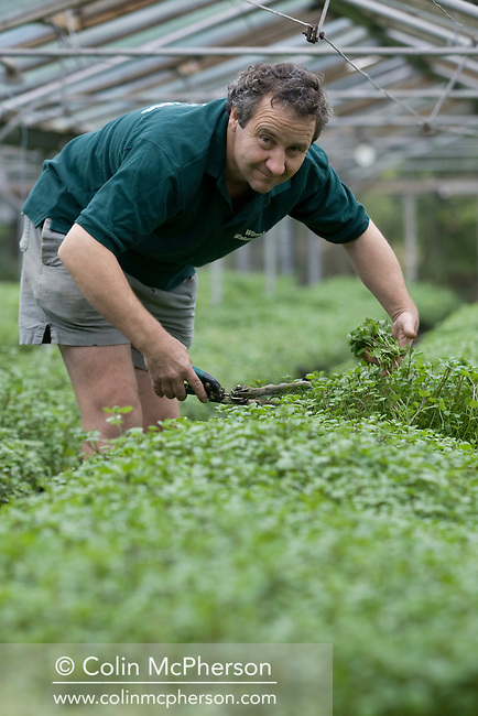 Proprietor Peter Jones harvesting watercress grown in an indoor nursery at Wirral Watercress in Childer Thornton, north-west England. The watercress is grown in raised beds and is a fast-growing, aquatic or semi-aquatic, perennial plants native from Europe to central Asia and one of the oldest known leaf vegetables consumed by human beings. These plants are members of the Family Brassicaceae or cabbage family, botanically related to garden cress and mustard ? all noteworthy for a peppery, tangy flavour.