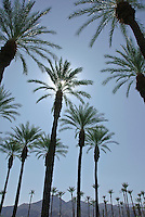 Date Palm Tree, California palm tree s, CA, Fan Palm, native, Arecaceae, Palmae, Palmaceae