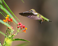 Adult female ruby-throated hummingbird at butterfly weed