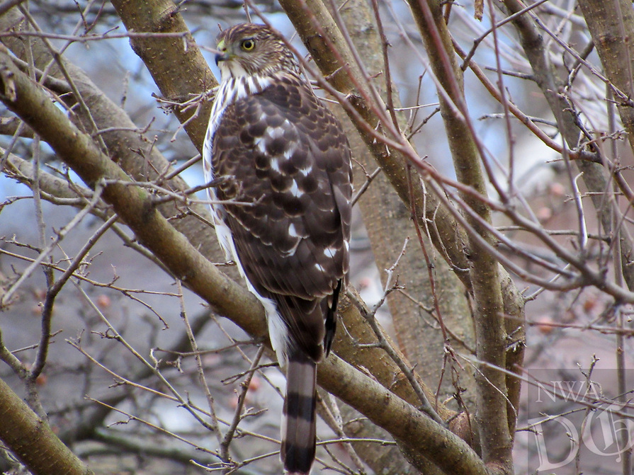 Courtesy photo/SHANE JOHNSON<br />COOPER'S HAWK<br />A Cooper's hawk perches on a branch in Lowell. Shane Johnson of Lowell took the picture Dec. 4 in his front yard.