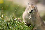 pika, rock rabbit, Ochotona princeps, talus, rock, Trail Ridge, Rocky Mountain National Park, Colorado, USA, Rocky Mountains, wildlife, nature