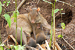 Central American Agouti, Dasyprocta punctata, Panama, Central America, Gamboa Reserve, Parque Nacional Soberania, female with young by nest hole, pair suckling with mother