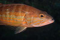 Comber (Serranus cabrilla), Larvotto Marine Reserve, Monaco, Mediterranean Sea<br /> Mission: Larvotto marine Reserve