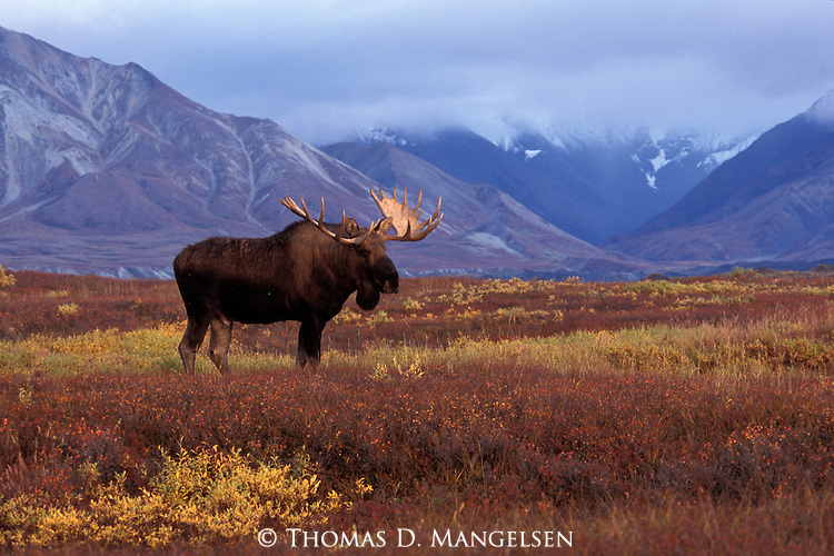 Moose standing in front of a mountain range in Denali National Park, Alaska.