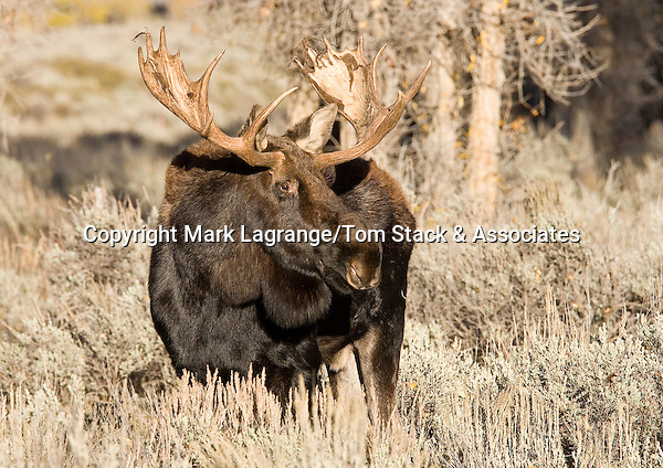 The moose felt was just finishing losing his velvet when we came across him in Grand Teton NP