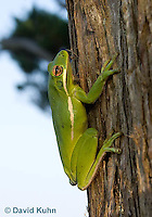 1218-1007  American Green Treefrog Climbing Tree, Hyla cinerea  © David Kuhn/Dwight Kuhn Photography