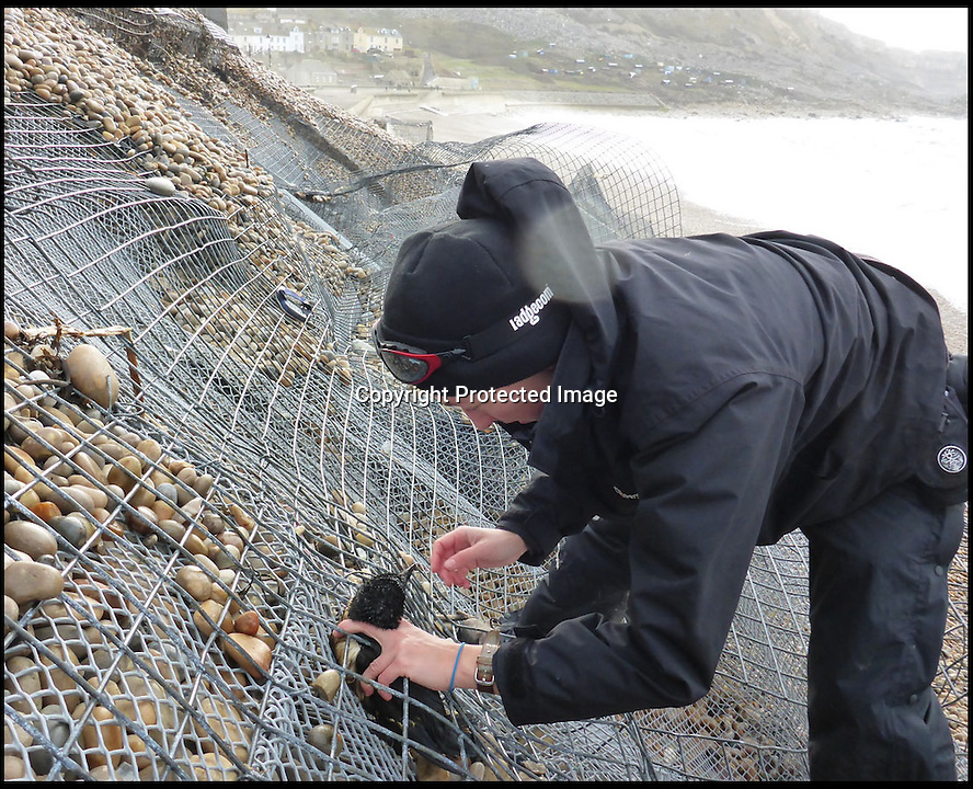 "BNPS.co.uk ()1202 558833)<br /> Pic: MarcSmith/DWT/BNPS<br /> <br /> ***Must Use Full Byline***<br /> <br /> A miracle survivor from storm lashed Portland beach in Dorset - This Razorbill was rescued alive by Angela Thomas of the DWT from the wire shingle cages of the battered sea defences.<br /> <br /> A plucky razorbill bird has had an amazing escape after it was found trapped inside a wire cage that makes up sea defences having been washed into by the recent storms.<br /> <br /> The helpless sea bird was swept into the gabion - a large cage filled with rocks and shingle to stabilise the shoreline - by powerful 30ft waves.<br /> <br /> Wildlife volunteers found it wedged inside as they picked up about 100 dead sea birds that had died as a result of the winter storms from off the beach at Chiswell Cove, Portland, Dorset.<br /> <br /> The puffins, guillemots, razorbills and kittiwakes have perished because heavy seas have meant they have been unable to hunt for fish.<br /> <br /> The stranded razorbill was found alive from the gabion and taken to an RSPCA centre to recuperate.<br /> <br /> Angela Thomas, an assistant warden at the Chesil Bank and Fleet Nature Reserve, said: ""The force of the waves had emptied the shingle from the metal cage, but somehow a razorbill had become trapped inside.<br /> <br /> ""It was hard to get it out, it would not have escaped without our help, so we're glad we managed to spot it."""