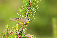 Nashville warbler, Vermivora ruficapilla, perched on a pine tree in springtime, Nova Scotia, Canada
