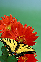 Gorgeous Tiger swallowtail, Pterourus glaucus, on red gerbera daisy