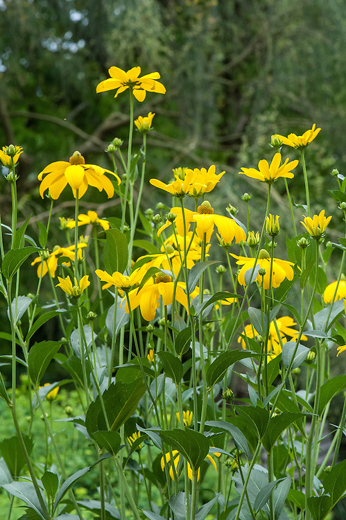 "Rudbeckia laciniata 'Herbstsonne', mid August. A herbaceous perennial to 2m in height, with single flower-heads with golden-yellow rays and greenish-yellow central ""cones""."