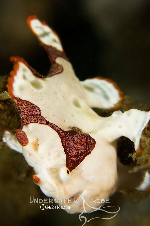 Clown anglerfish or frogfish, Antennarius maculatus, Basura dive site, Anilao, Batangas, Luzon, Philippines, Pacific Ocean