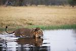 Botswana, Chobe National Park, Savuti, male lion (Panthera leo) crossing Savuti Channel