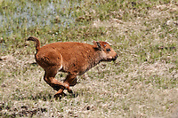Bison Calf running