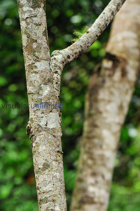 Mossy Leaf-tailed Gecko (Uroplatus sikorae), Montagne d'Ambre National Park, Antsiranana, Northern Madagascar