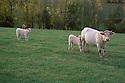 05/10/04 - BOURBONNAIS - ALLIER - FRANCE - Charolaises dans le bocage Bourbonnais - Photo Jerome CHABANNE