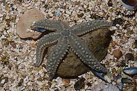 Eisstern, Eisseestern, Eis-Seestern, Warzenstern, Seestern, Marthasterias glacialis, spiny starfish