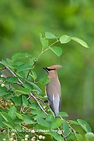 01415-02509 Cedar Waxwing (Bombycilla cedrorum) in Serviceberry Bush (Amelanchier canadensis)  Marion Co., IL
