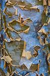 Commiphora sp., Madagascar
