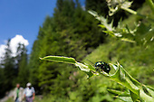 Switzerland. Shimmering green beetle on a leaf by a  mountain path with walkers.