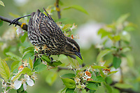 Adult female Red-winged Blackbird (Agelaius phoeniceus) feeding among apple blossoms. King County, Washington. May.