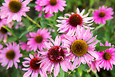 CZECH REPUBLIC,  Slavonice, A patch of Chrysanthemum Pink , Pom Pom Daisys in a garden in Bohemia