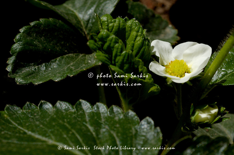 Strawberry flower (fragaria vesca) during Spring.