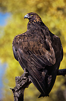 521090080 a wildlife rescue golden eagle aquila chrysaetos perches on a dead tree limb with fall color in the background in central colorado