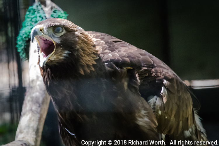 With its hooked beak open wide, a Golden eagle lets out a call from its cage at the Sulphur Creek Nature Center where it is being cared for.