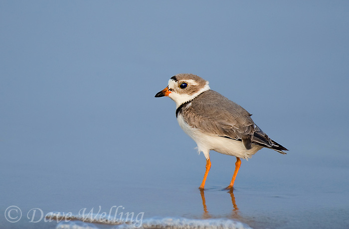 571880011 a wild adult piping plover charadrius melodus an endangered species in full breeding plumage stands in shoreline surf at boca chica beach along the texas gulf coast