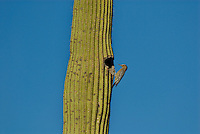 Female Gila Woodpecker (Melanerpes uropygialis) on saguaro cactus.  Arizona