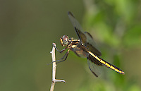 389210003 a wild female widow skimmer dragonfly libellula luctosa perched on a small twig southeast metropolitan park travis county texas