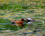 Cinnamon Teal and Western Painted Turtle in pond with algae on surface during a summer day