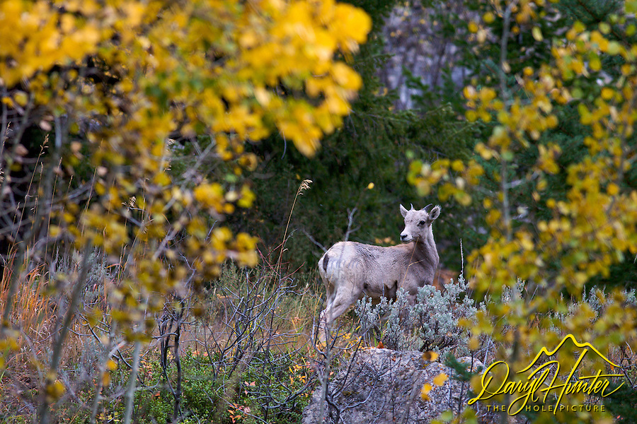 Bighorn Sheep, lamb, Gros Ventre Mountains, autumn, fall colors, Jackson Hole, Wyoming
