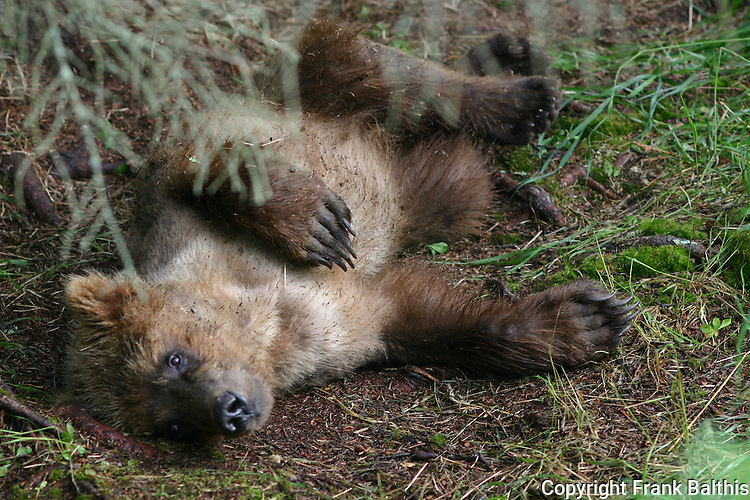 Alaska brown bear resting after a big meal of salmon