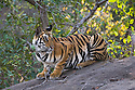 India, Bandhavgarh National Park, 17 months old Bengal tiger cub sitting on rock in jumping position, early morning, dry season