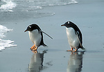 Gentoo penguin, Gentoo,Pygoscelis paua,also called a brush tailed penguin they live in Antarctica, and the sub Antarctic mostly on islands on the, Antarctic Peninsula.